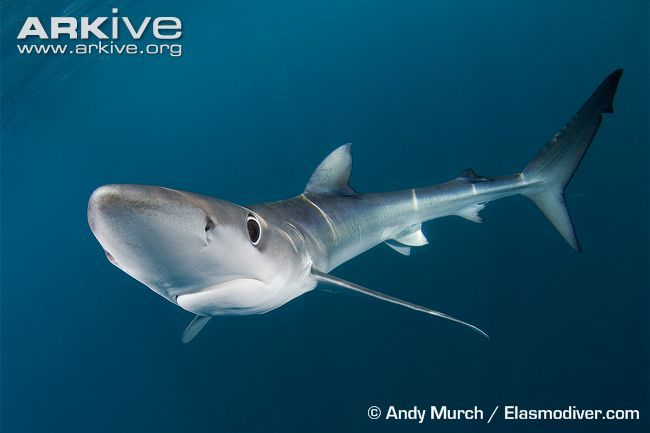 The blue shark (Prionace glauca) is easily identified by its beautifully coloured slender body, which is a deep indigo-blue across the back, shading to a vibrant blue on the sides, and paling to white underneath. This shark has large eyes, triangular teeth, a conical snout, long pectoral fins and a second dorsal fin much smaller than the first. While its elongated caudal fin provides swimming power, its sleek, tapered body makes it a graceful mover.