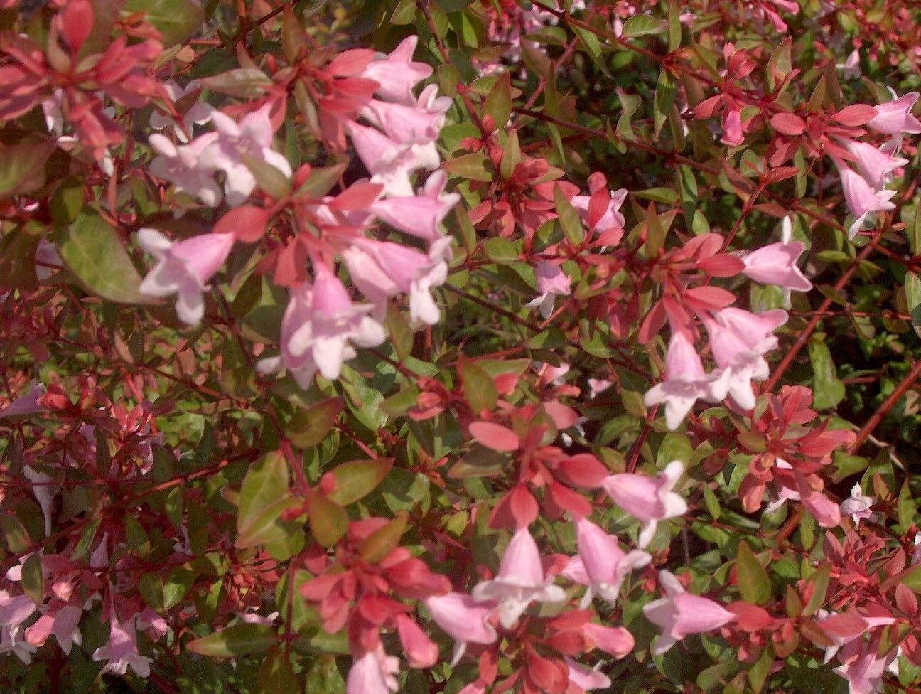 Abelia grandiflora \'Edward Goucher\' Pink Abelia | Plant ID ...