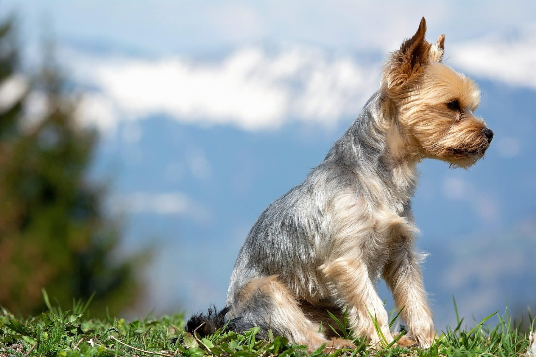 Top 5 Yorkie Haircut Styles For 2019 Yorkie Haircuts Yorkie Puppy Yorkie Puppy Training