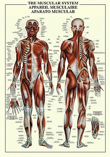 THE MUSCULAR SYSTEM Human Anatomy Wall Chart Poster - Available at - muscle chart template