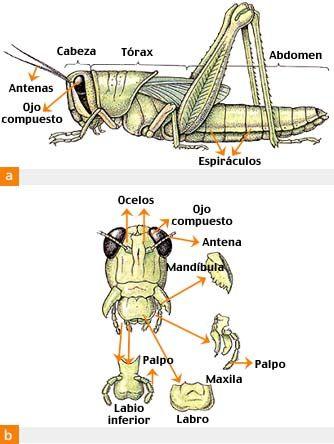 Partes de los Incectos | bichos | Pinterest | Insectos, Buscar ...