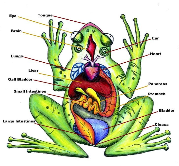 Printables Frog Dissection Worksheet digestive system use to complete frog dissection lab sheets this huge anatomy diagram is free with great article on what expect see when doing a dissection