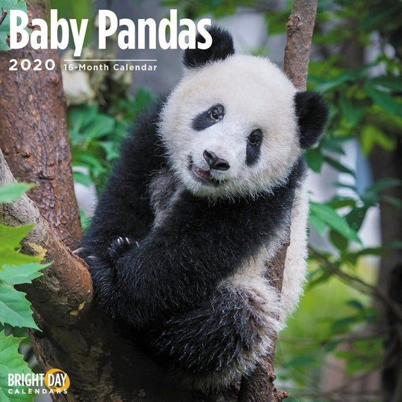 2020 Baby Pandas 16 Month 12 x 12 Wall Calendar Cute Bear China Bamboo Animals #babypandabears