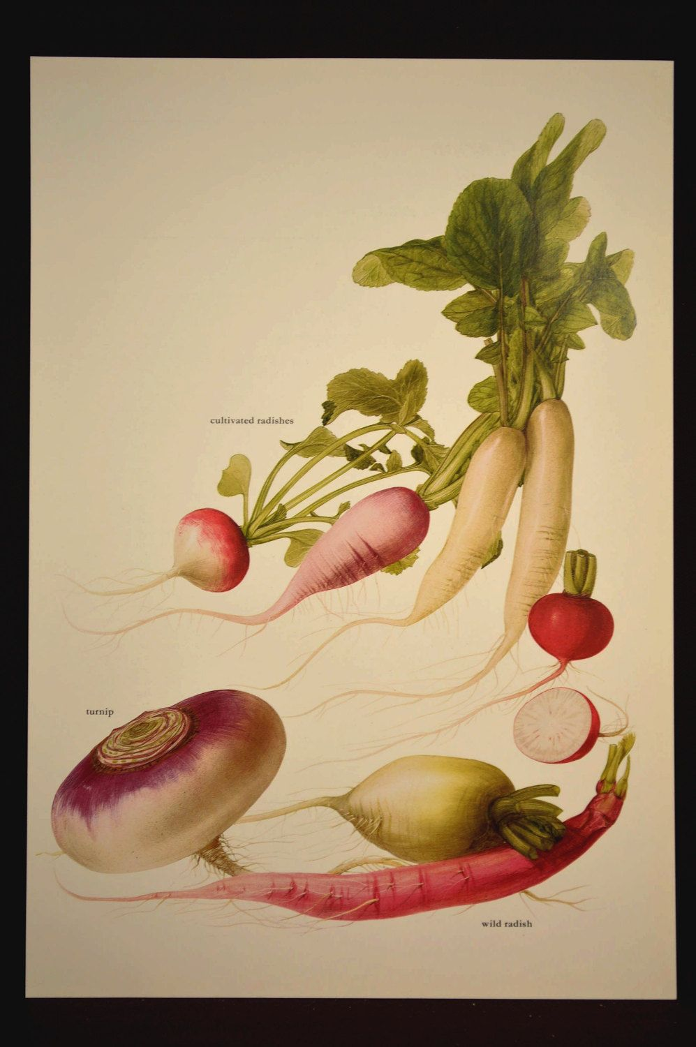 Radish Print Kitchen Spices Wall Decor Art Garden Turnip | Wall ...