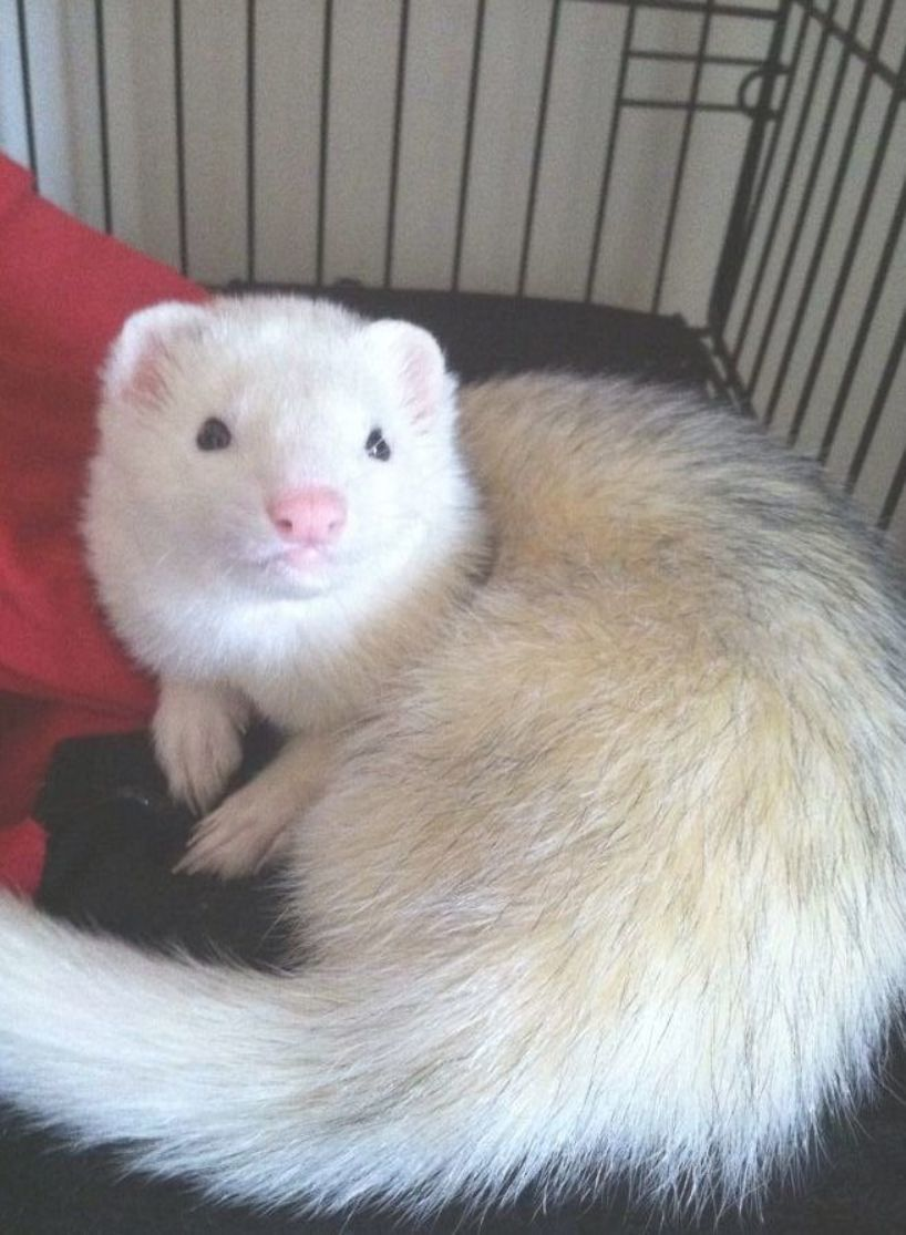 Ferret Cute With Pink Nose Dew Big Acute Dew Ferret With A