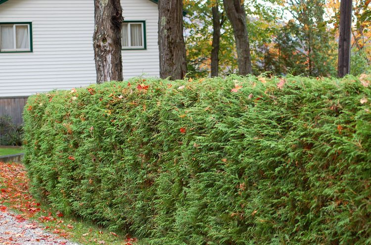 Living Privacy Fence] 13 Living Privacy Fences Ideas Home And ..