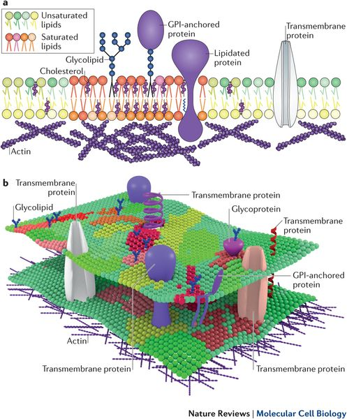 General Overview Of Lateral Heterogeneity In The Plasma Membrane Biologia Molecular Biologia