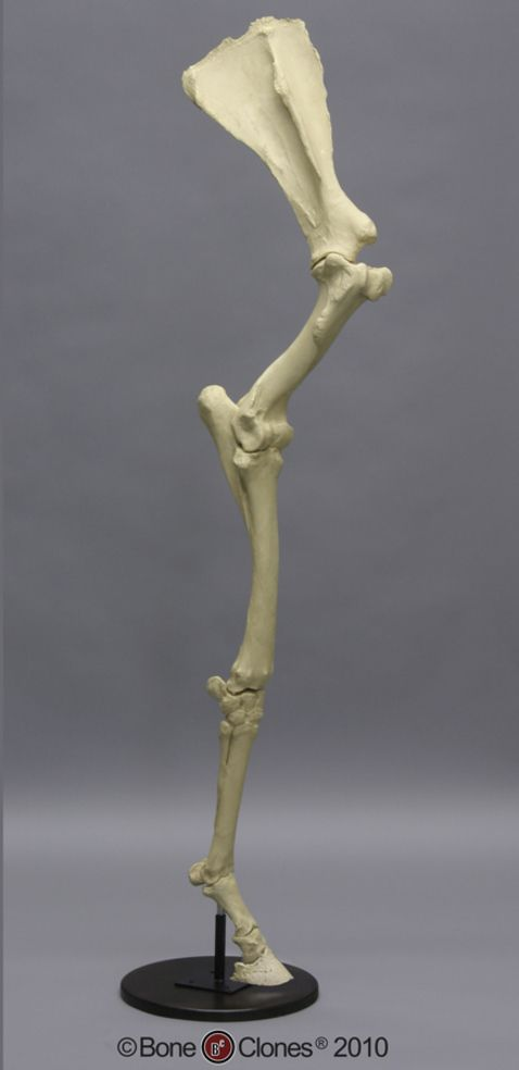 Horse Front Leg With Scapula Articulated Sc 125 67 As Equine