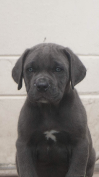 Cane Corso Puppy For Sale In Tampa Fl Adn 33257 On Puppyfinder Com Gender Male Age 8 Weeks Old Cane Corso Puppies Puppies For Sale Cane Corso