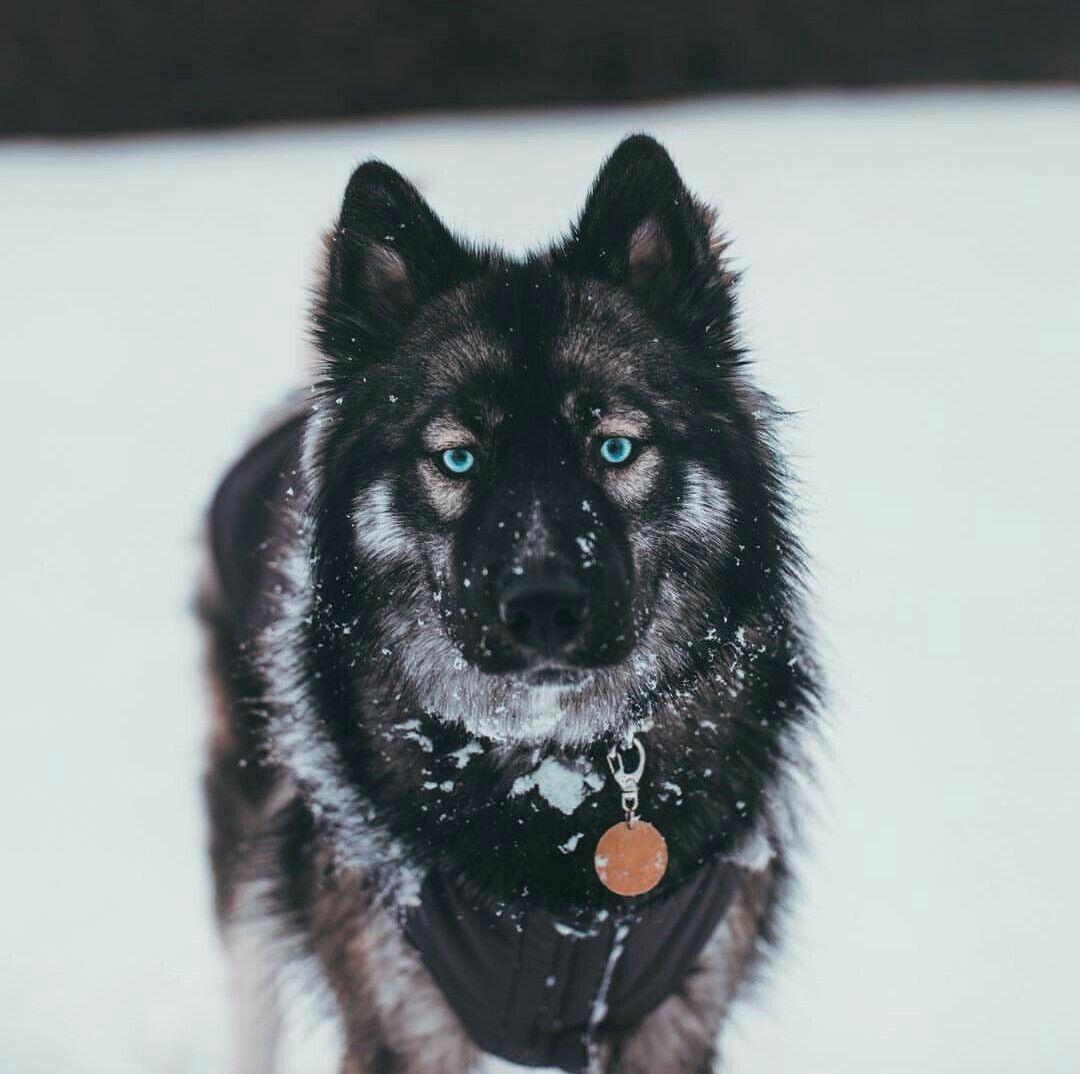 Pin By Destiny M On Agouti Husky Agouti Husky Dogs Siberian Husky