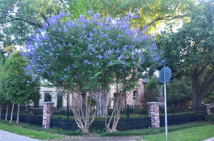 Texas Lilac Vitex Tree Vitex Tree Purple Flowering Tree Flower