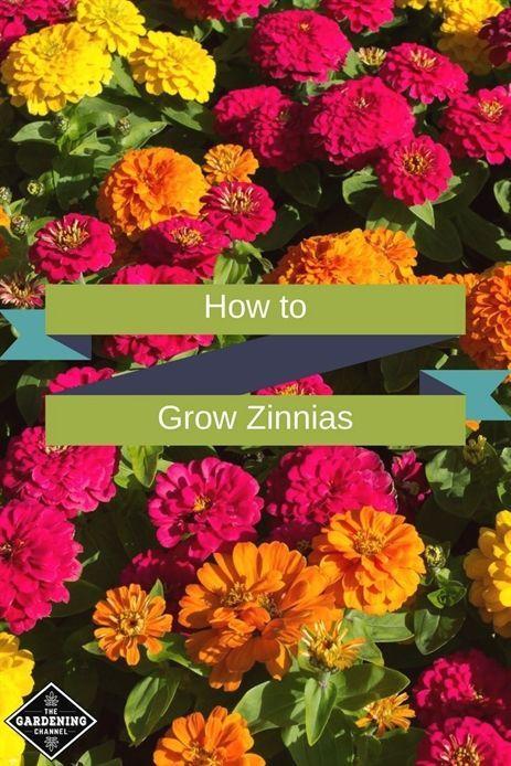 How to Grow Zinnias   - Cherry tree