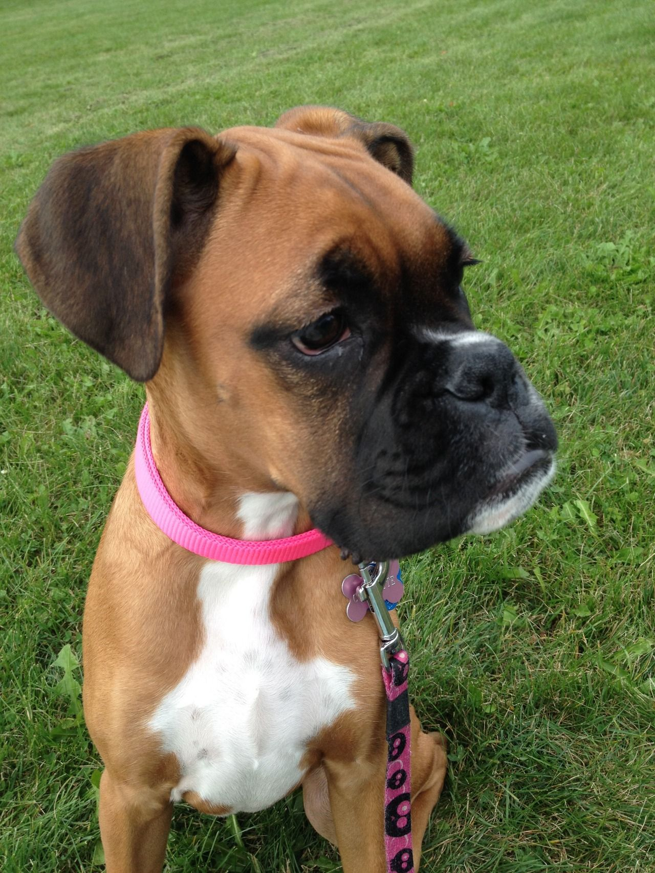Pin On For My Boxer Dogs