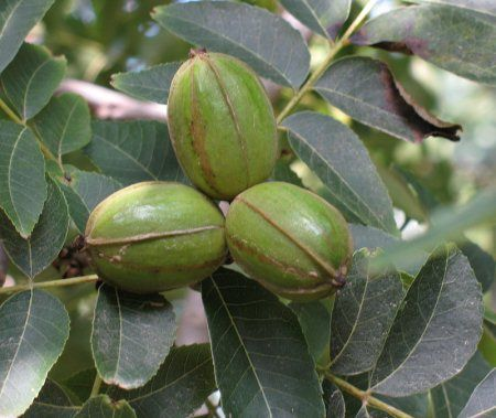 Pecans, close to their parent, playing hide and seek