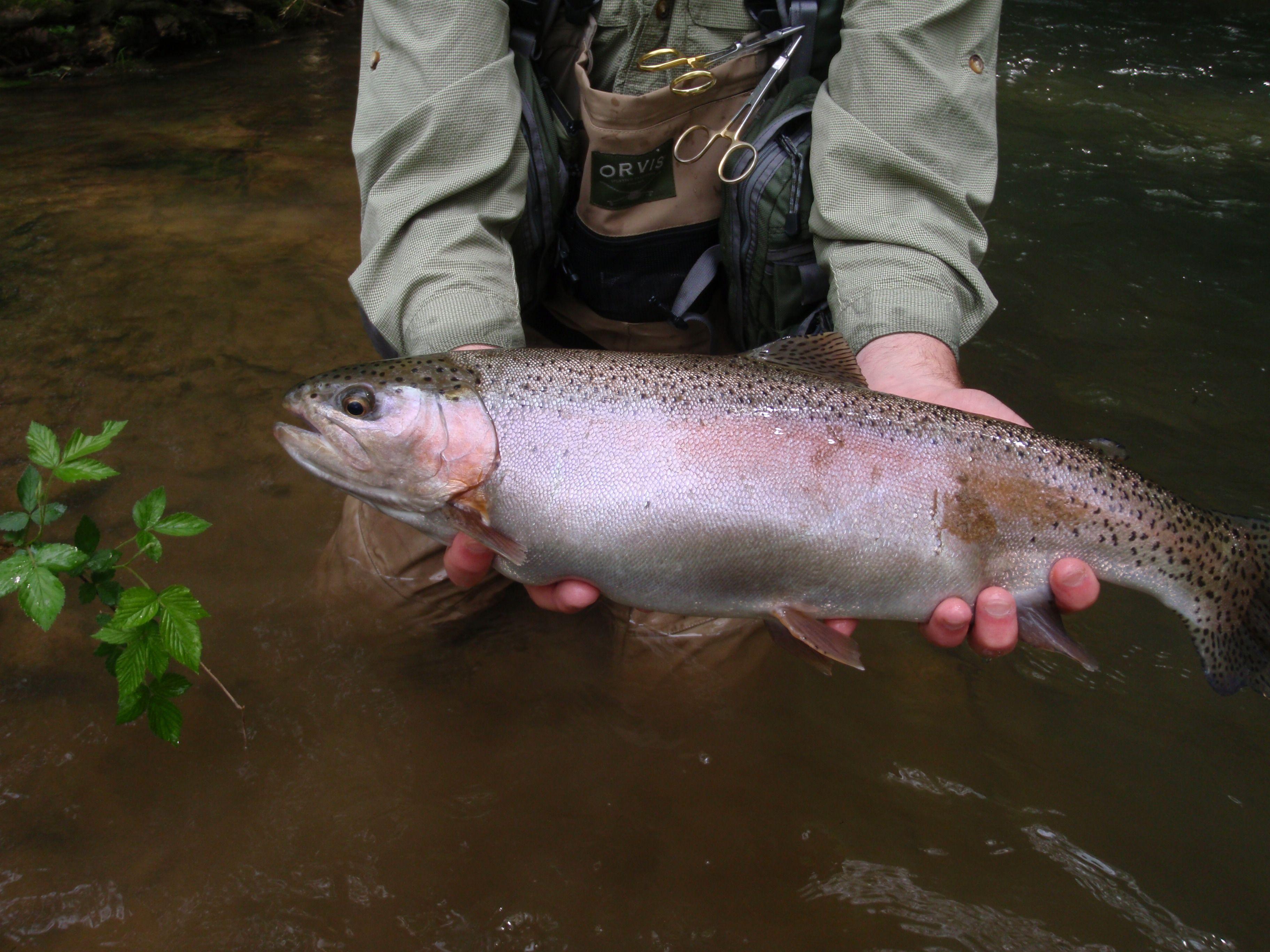 a fat beaver creek rainbow on a fly virginia rainbow trout