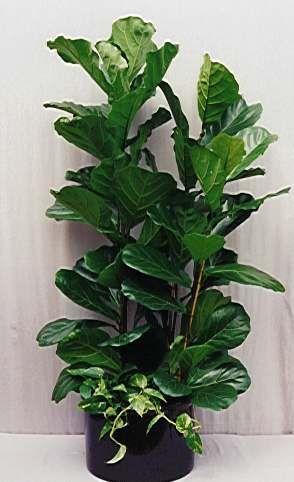 Ficus Lyrata Gomero Pera Con Immagini Piante D Appartamento