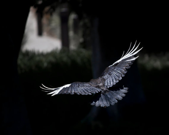 """***LOVE*** """"Fairy Tale"""" by Susie Loucks This is a photograph of a Leucistic Crow (some refer to it as a partial albino crow) flying into the shadow of trees. This is a ..."""