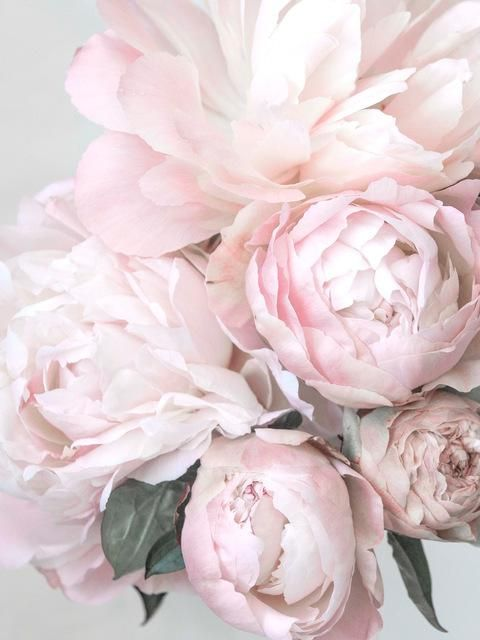 Blush Pink Peonies Art Canvas Fig Avenue Wie Man Blumen Malt Blumen Hintergrund Blumen