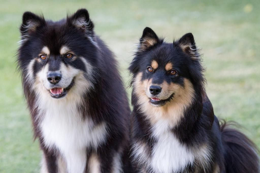 Finnish Lapphund Breed Profile Dog breeds, Cute dogs