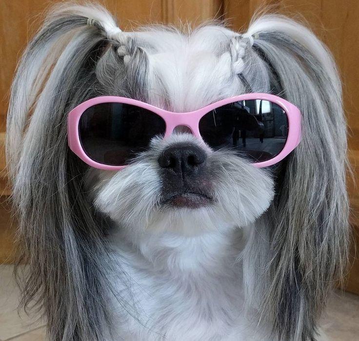 Resultado de imagen para shih tzu sunglasses