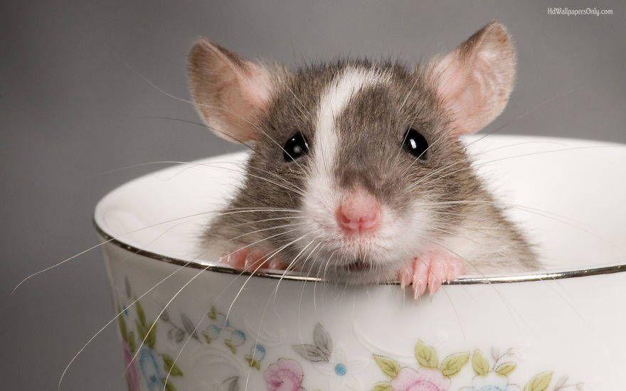 Ces photos adorables de rats vont vous faire changer d'avis sur eux !