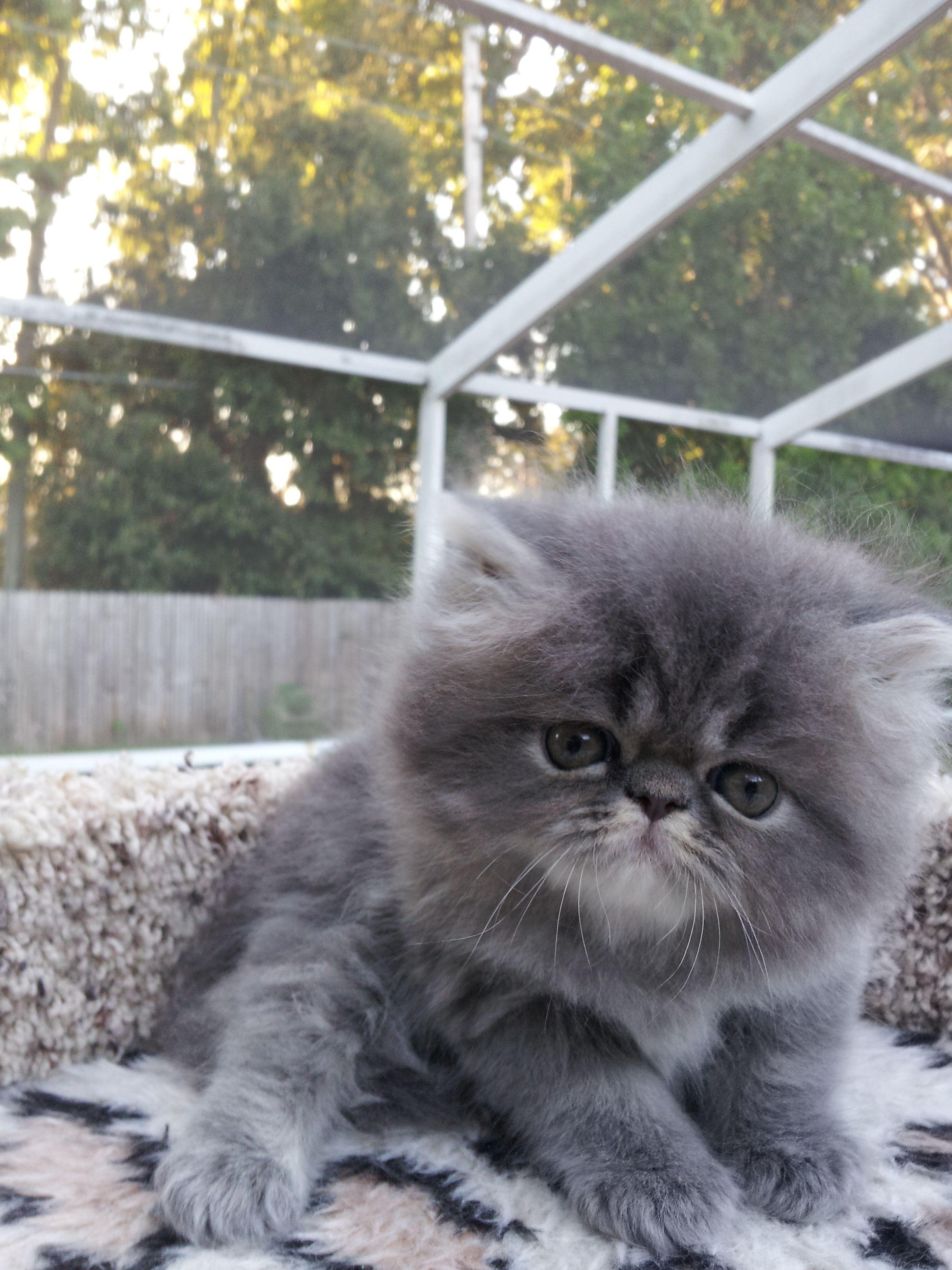 Blue Tabby Persian Cats Persiancat Cats Teacup Persian Cats Persian Kittens