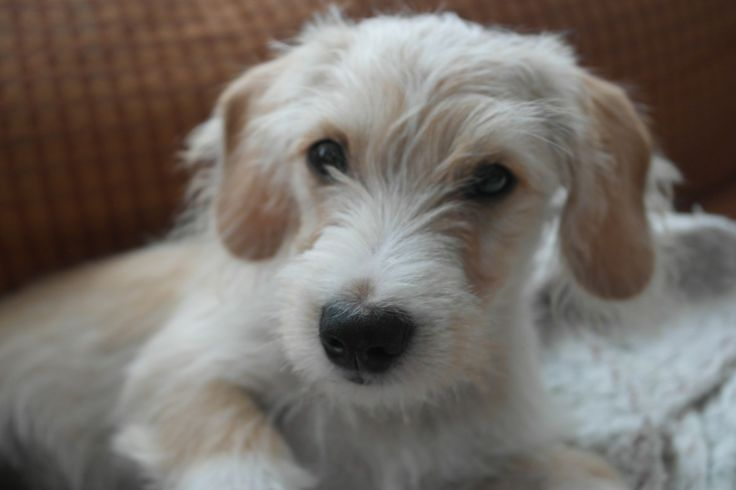 Dachshund And Maltese Mix Doxie Dogs Dachshund Mix