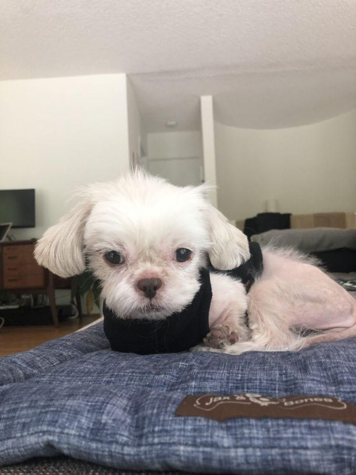 Adopt Starfish On We Need A Home Shih Tzu Maltese Mix Dogs