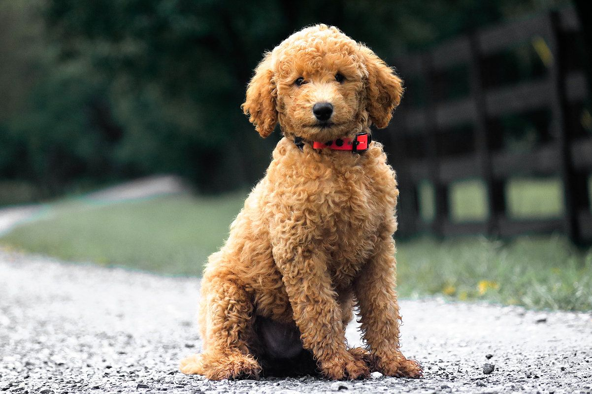 IMG_0642.jpg Labradoodle, Goldendoodle, Puppies