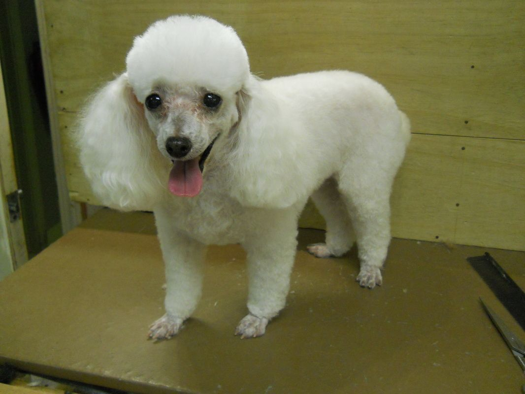 Standard poodle haircuts or of unless soft haircuts standard poodle - Poodle Feet Cut Google Search