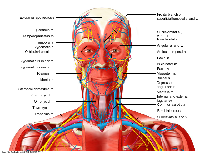 Head, neck - Anterior view - Deep muscles, blood vessels and nerves ...