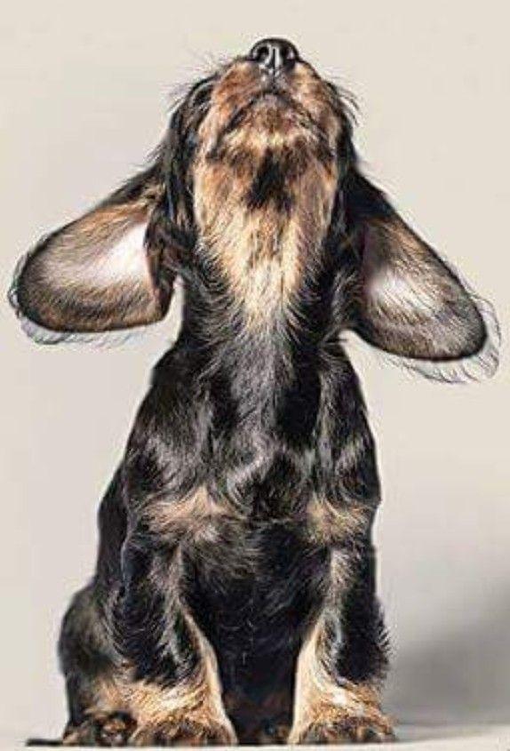 Dog Insurance Dachshund Puppies Wire Haired Dachshund Weenie Dogs