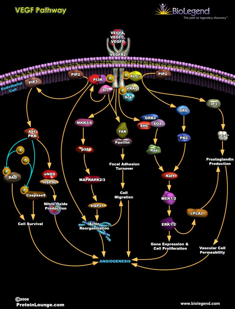 Vegf Pathway Cell Biology Notes Biochemistry Biology Notes