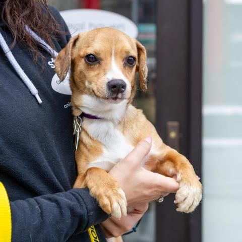 Adopt Ruby on Animals, Dogs, Dachshund mix