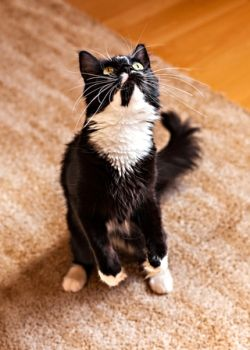 Teach Your Cat To Sit Up In 3 Steps Cat Behavior Cats Cat Site