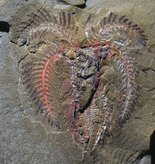 marrellomorph arthropod - New Fossils Before and After the Cambrian, What Do They Show? Evolution News & Views http://www.evolutionnews.org/2015/07/new_fossils_bef097781.html