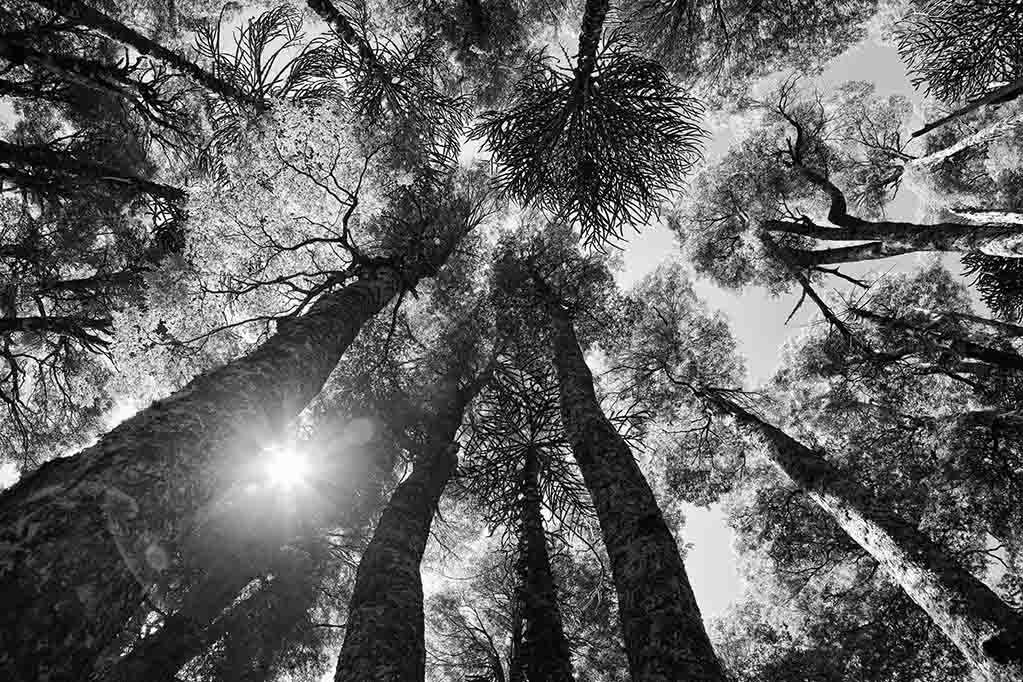 Bosque de Araucarias