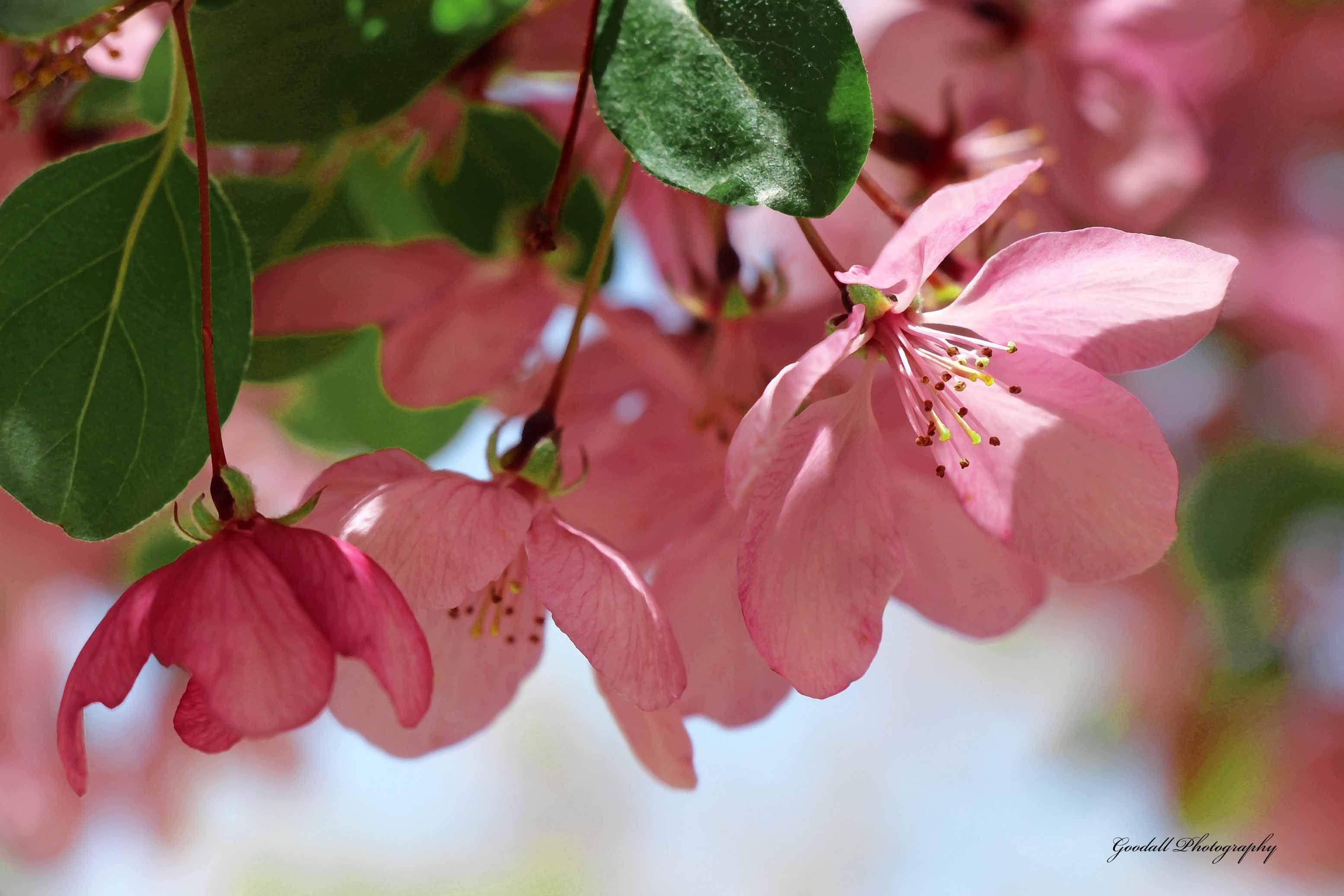 Spring Petals / April 2015 https://www.facebook.com/goodallphoto