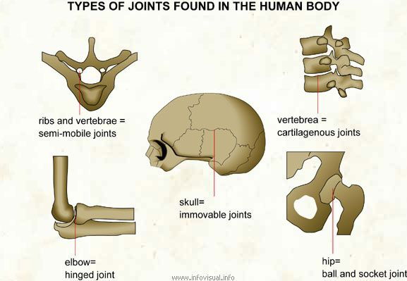 In the Skeletal system, there are various joints. This image shows ...