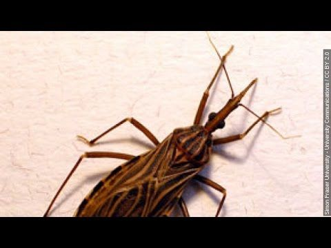 Kissing Bug Infections Are Growing In Texas Health Officials Say