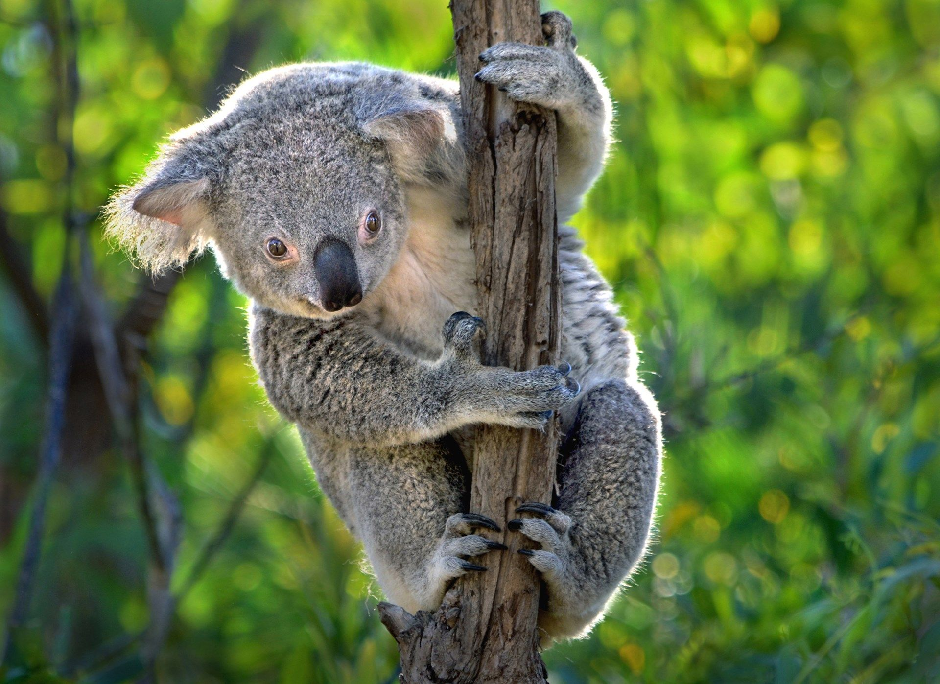 High Quality koala picture - koala category | ololoshenka ...