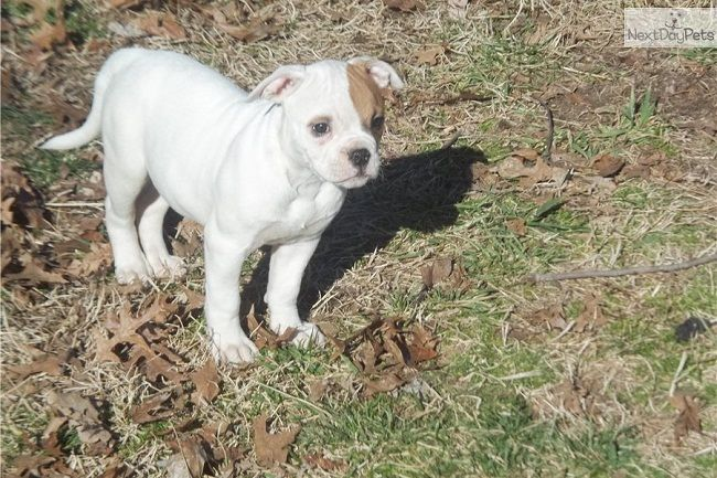 American Bulldog Puppies For Sale In Indiana Zoe Fans Blog