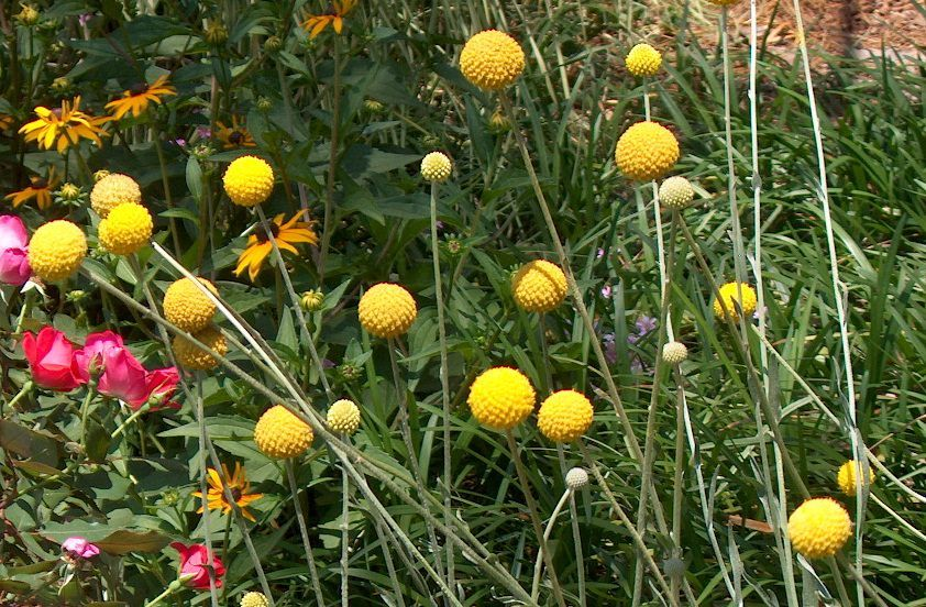 How To Grow Craspedia Billy Buttons Colorful Landscaping Billy Buttons Front Yard Landscaping