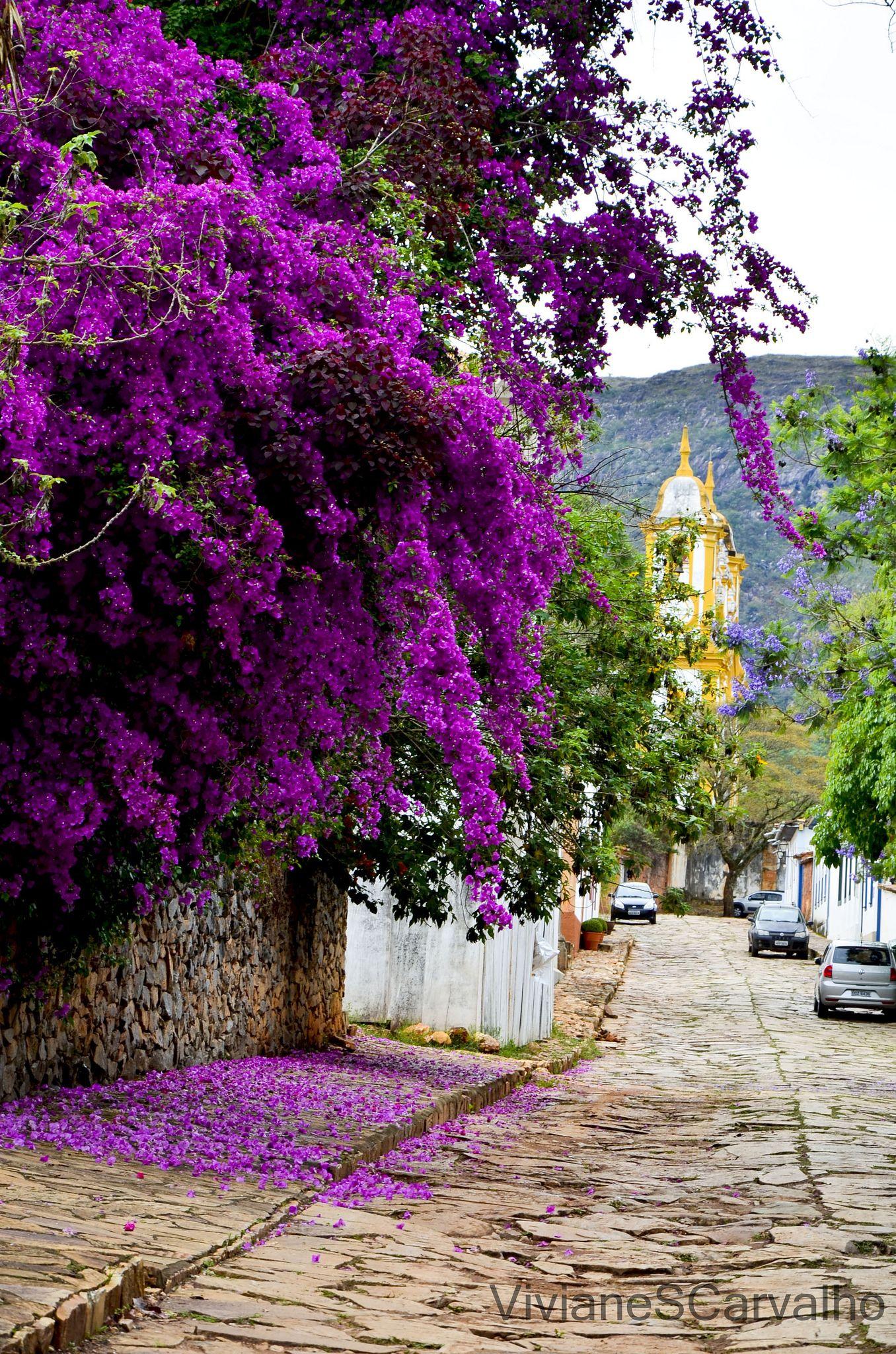 Tiradentes Mg Purple Flowering Plants Tall Purple Flowers