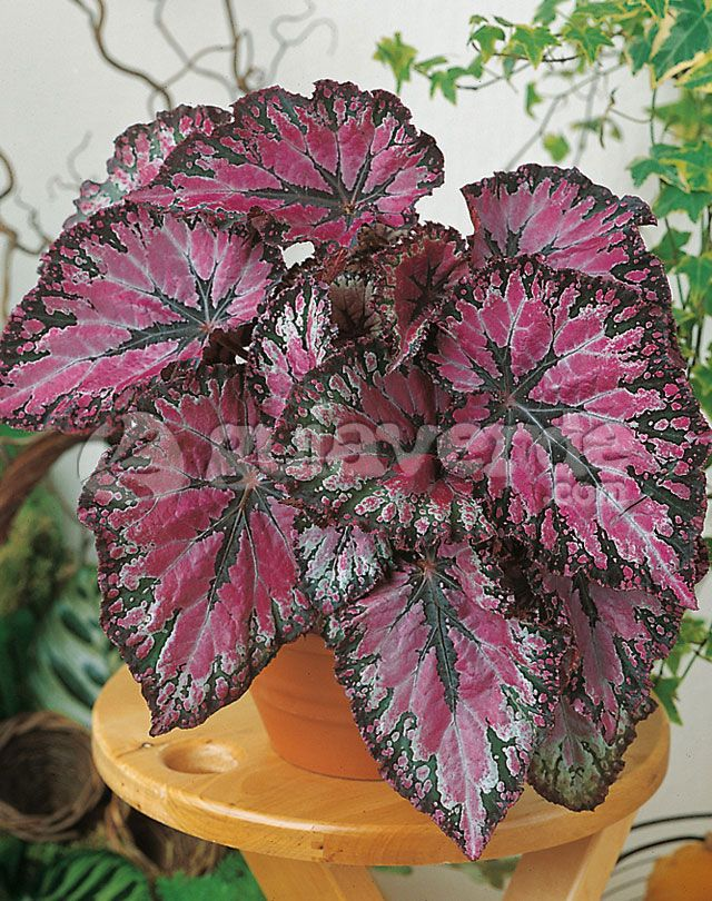 How To Grow Care Guide For A Begonia Rex Https Www