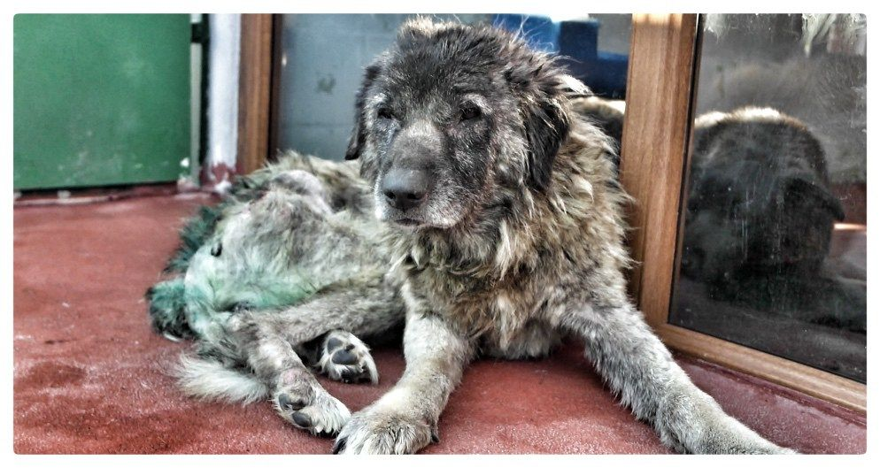 SAVE HENRY DISCARDED with DISLOCATED HIP and LEISHMANIA
