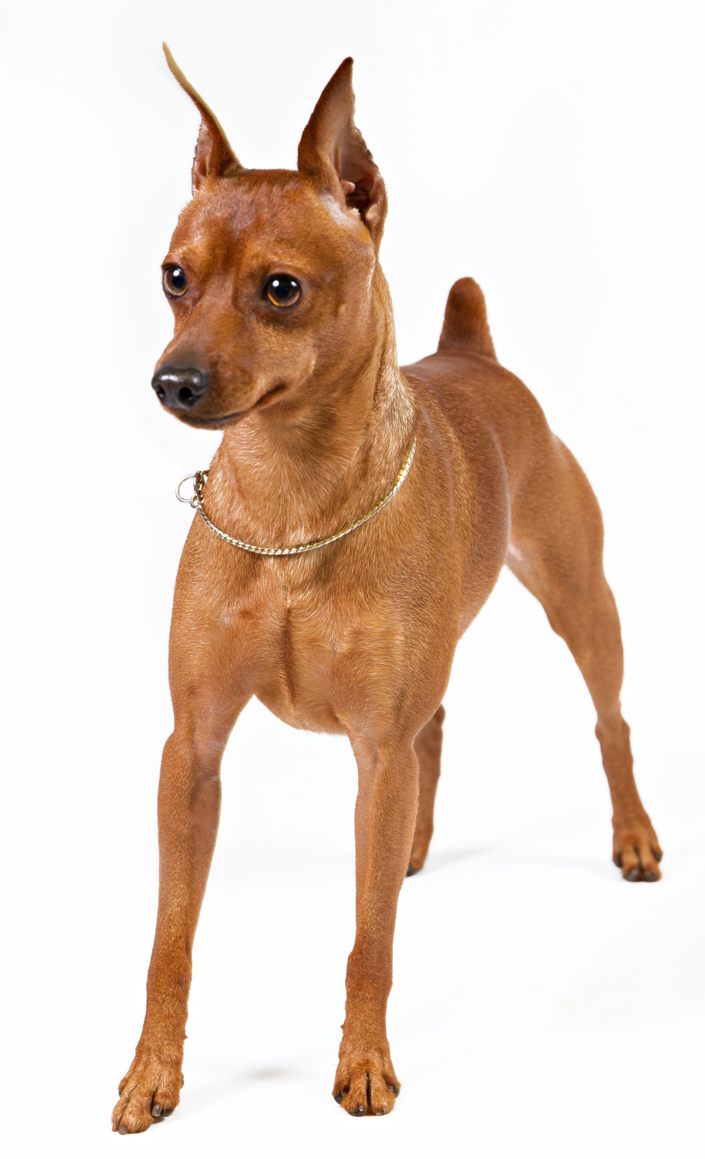 The Miniature Pinscher Should Be Protected In The Cold Click