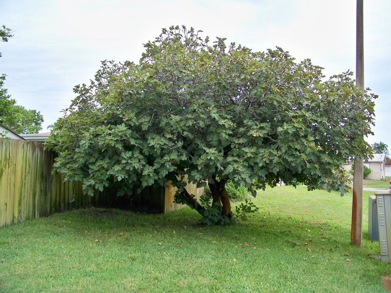 What a 30 year old neglected fig tree looks like - Fig Forum ...