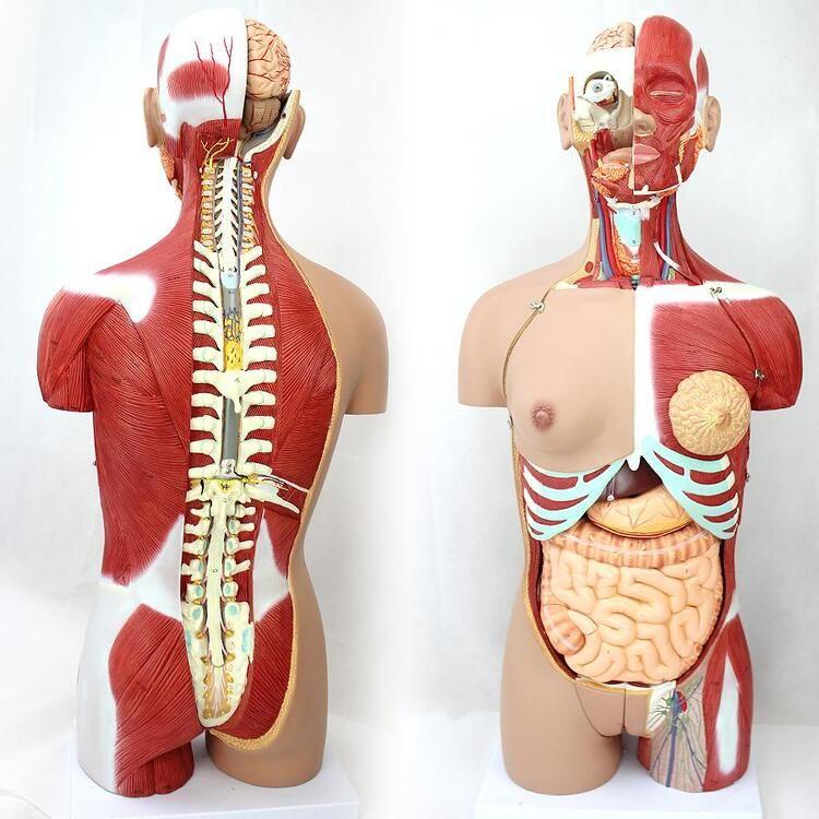 4D Anatomical Assembly Model of Human Organs - HUMAN BODY