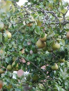 How To Start A Pear Tree From Seed
